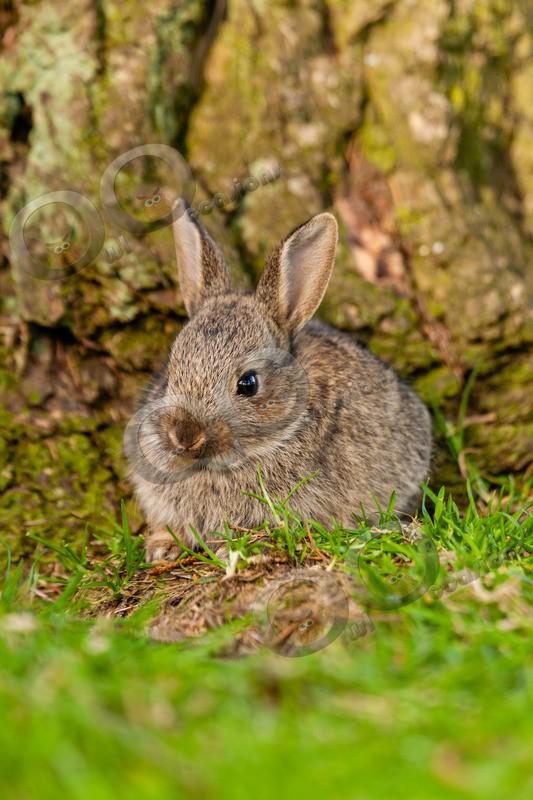 wild rabbit Oryctolagus cuniculus-2855 - UK Wildlife