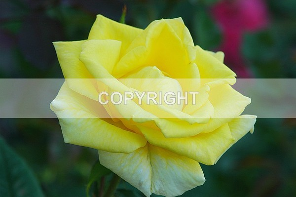 The Yellow Rose - DSC-0201 - The Flower Shop