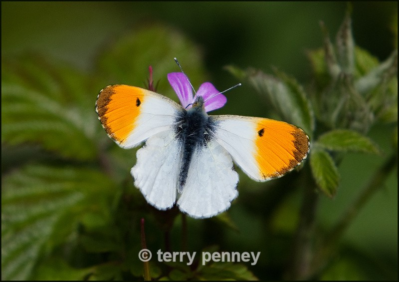 Orange Tip Butterfly 2 - Insects & Spiders