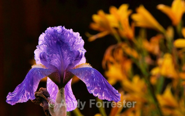Iris at Night - Low Light Flowers