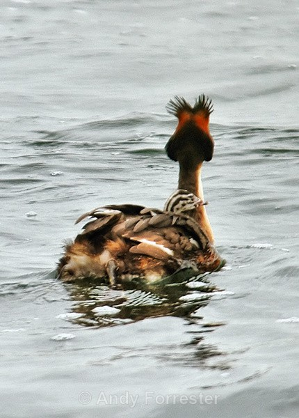 Hitching a Ride - Great Crested Grebes