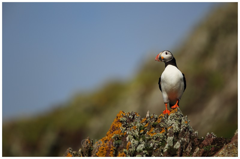 Puffin Lookout - Puffins of Skokholm Island
