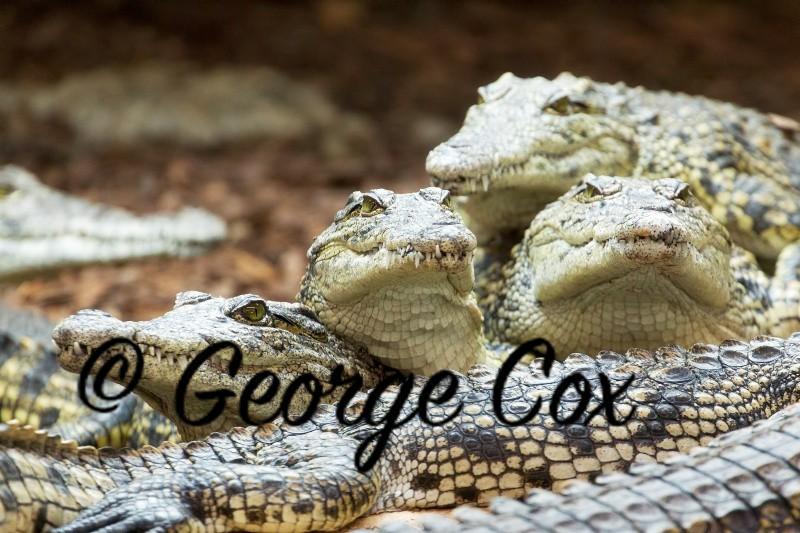 Crocodile Heads