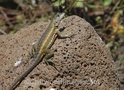Lizard on rock - Galapagos Islands