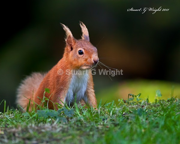 758 - Red Squirrels