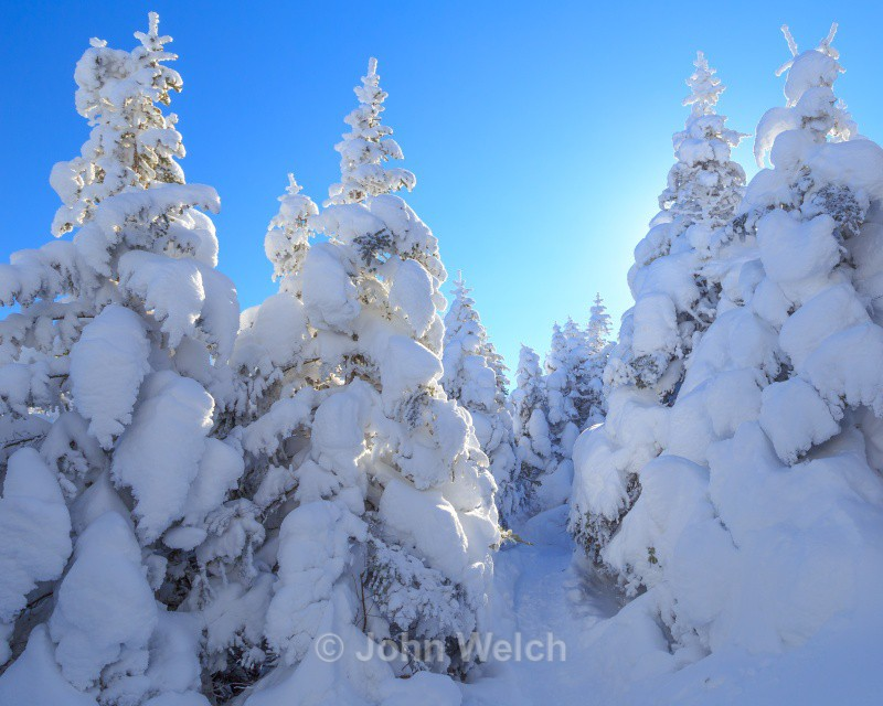 Backlit Snowy Spruce - White Mountain National Forest and Northern New Hampshire