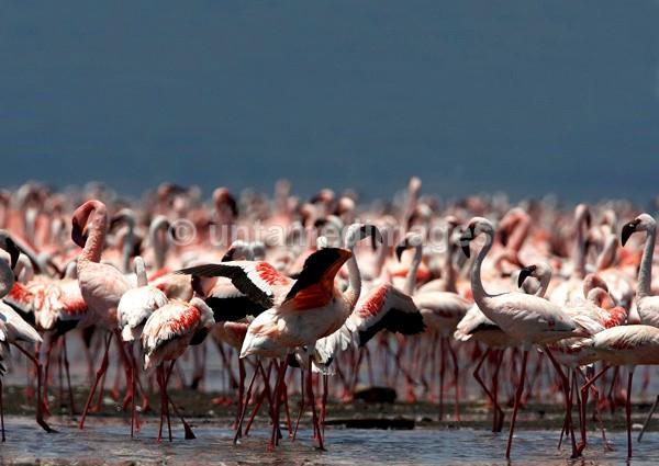 Lesser Flamingo - Kenya