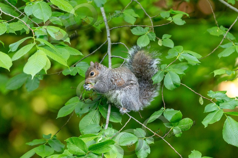 grey Squirrel Sciurus carolinensis-5844 - UK Wildlife