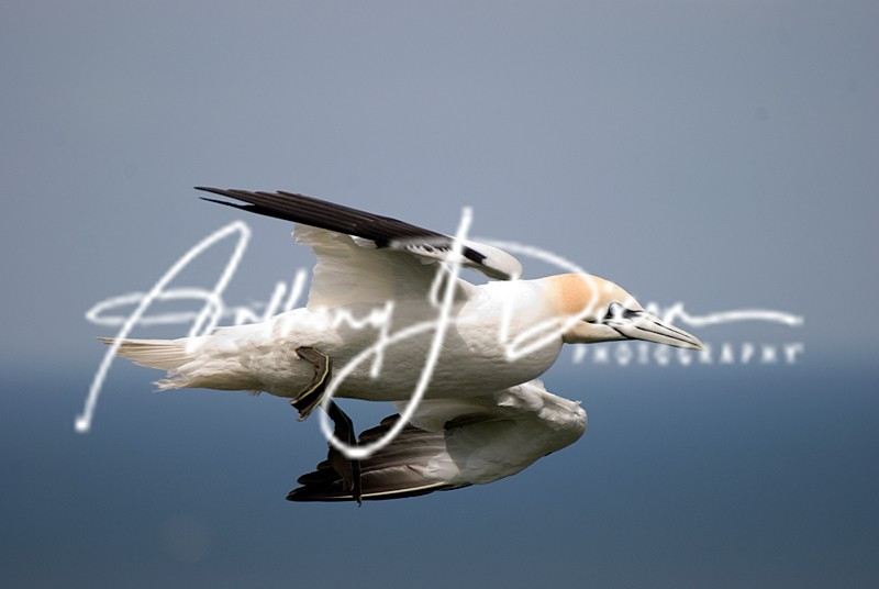 Gannet - Latest Images