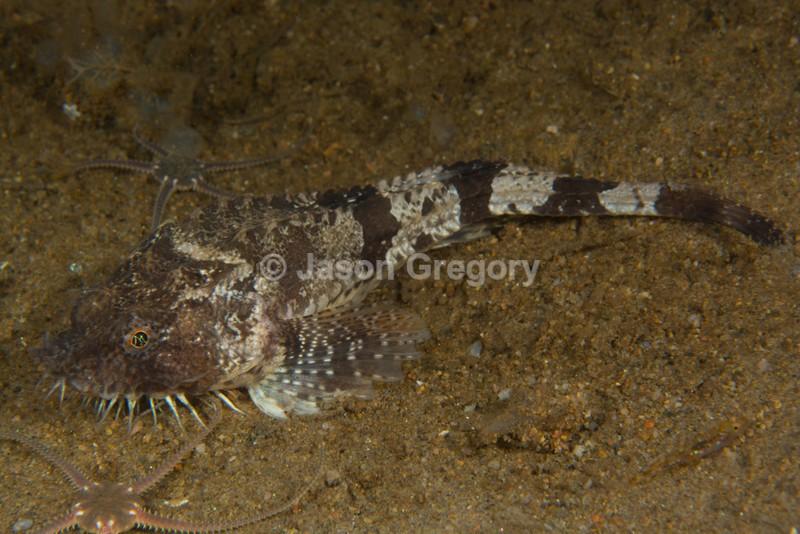 Agonus cataphractus - Fishes – bony and cartilagous (Pisces)