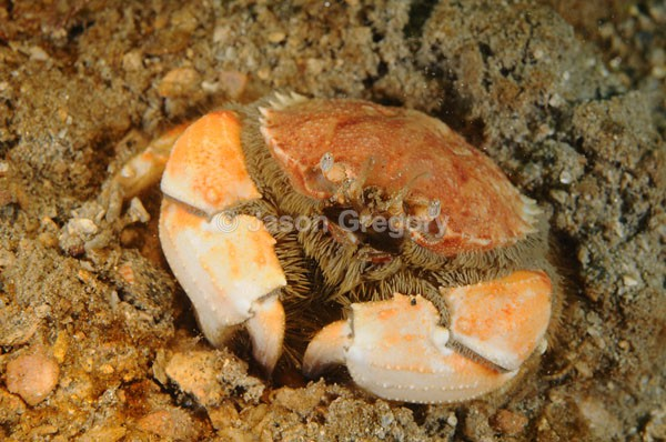 Atelecyclus rotundatus - Crabs, Lobsters, Shrimps & Prawns etc (Crustacea)