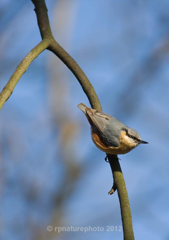 Nuthatch - Sitta europaea RPNP0060 - Birds