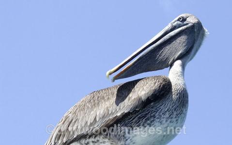 Pelican - Galapagos Islands
