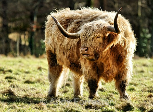 Highland Cow - Recent