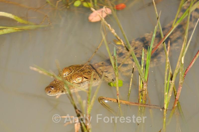 Baby Crocodile - Yala Sri Lanka