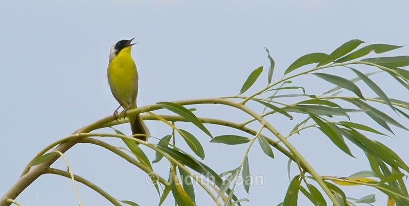 Common Yellowthroat male  - Birds
