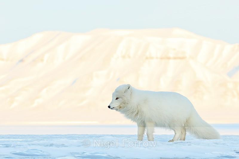 Arctic Fox, mountain background, Svalbard, Norway - Arctic Fox