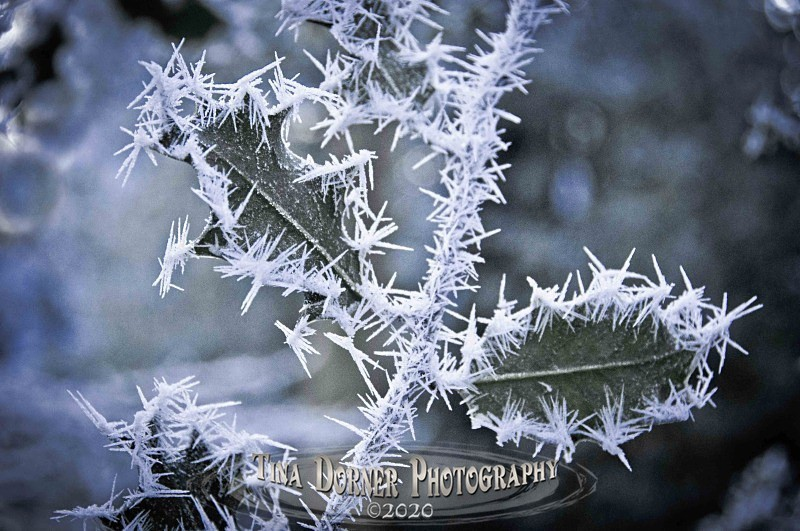 Holly Leaves with Hoar Frost from Plant and Flower Portfolio by Tina Dorner Photography