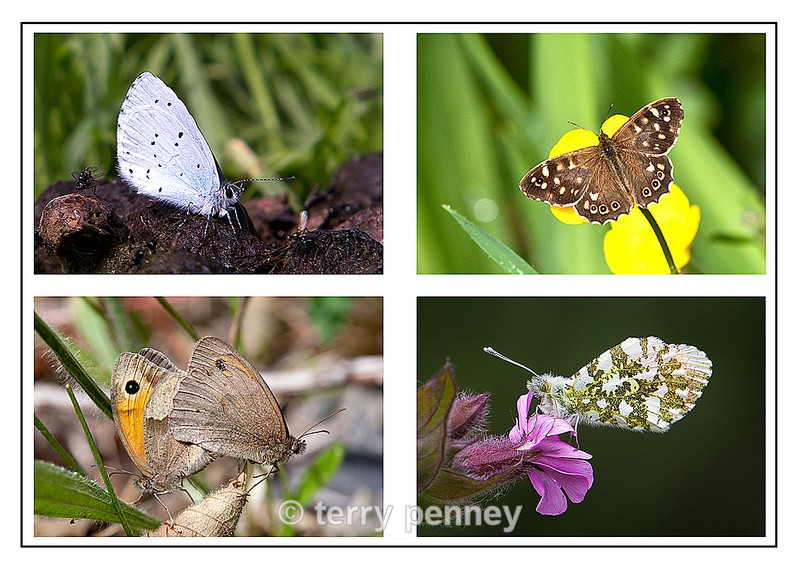 British Butterflies - Insects & Spiders