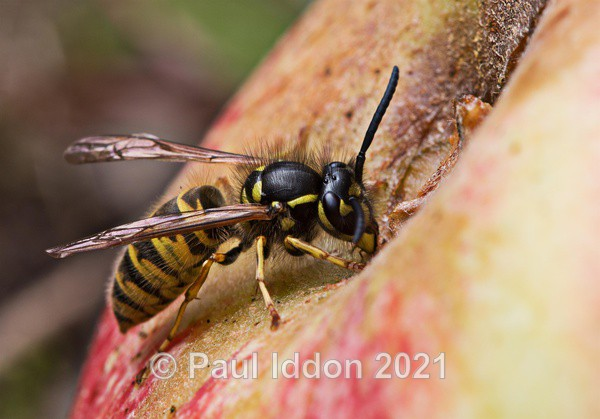 Wasp drinking apple juice - Macro