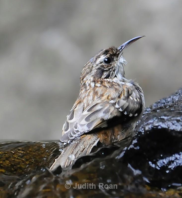 Brown Creeper - Backyard Bathing Birds