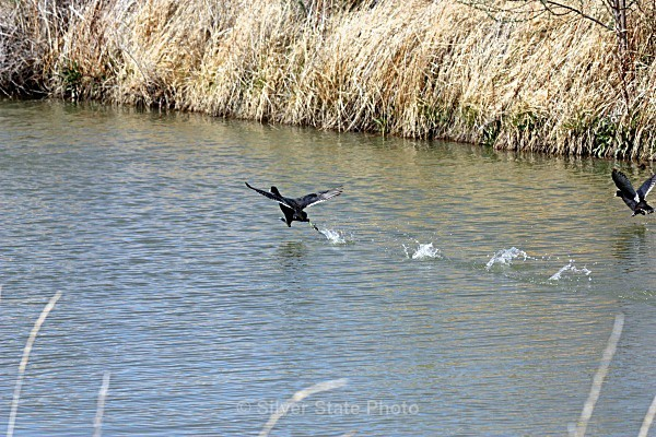 'Walking on Water' American Coot - Nevada Birds