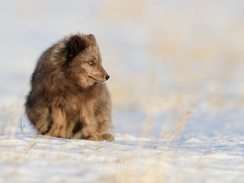 Dark Arctic Fox crouching, Svalbard, Norway - Arctic Fox