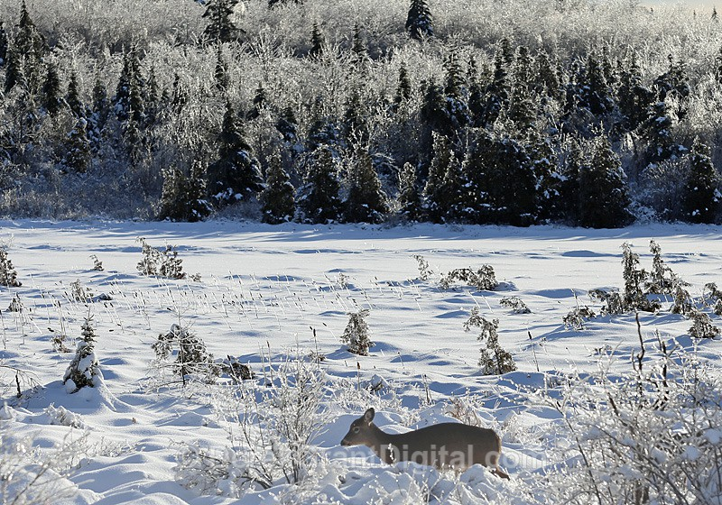 Bambi on Ice - The Great Ice Storm of 2013