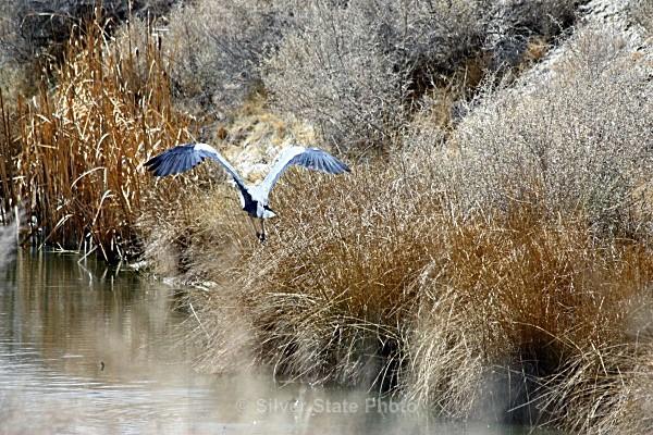 Great Blue Heron #2 - Nevada Birds