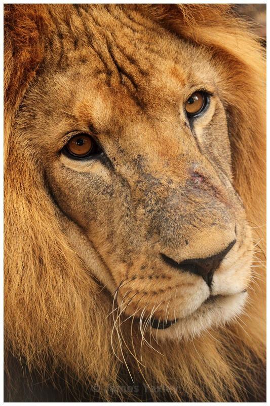 Lion Portrait - Kenyan Safari 2013