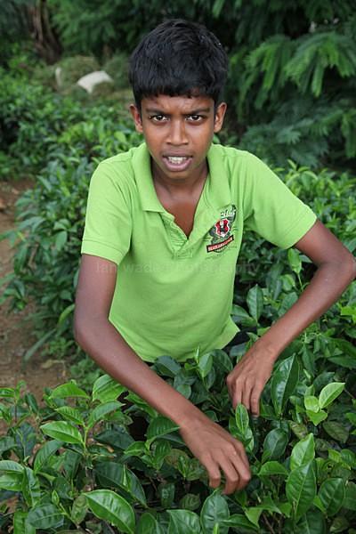 Tea plantation worker, Ella Sri Lanka 345 - Sri Lanka wildlife, people & places