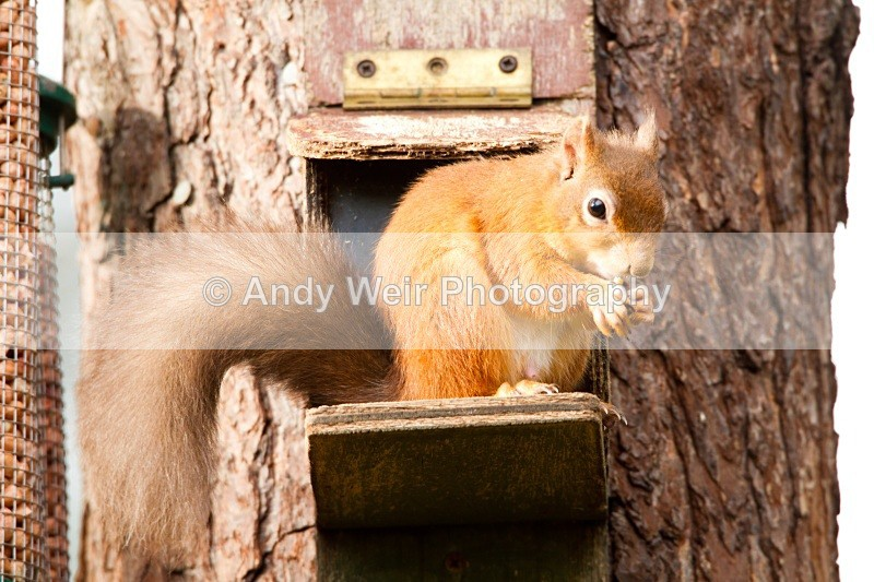 20101026-2590 - Red Squirrel
