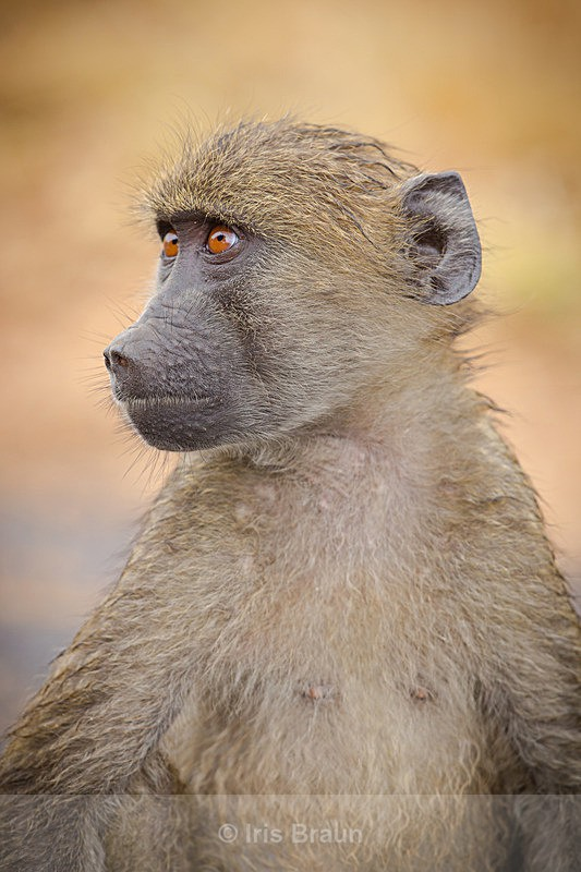Untitled - Baboon