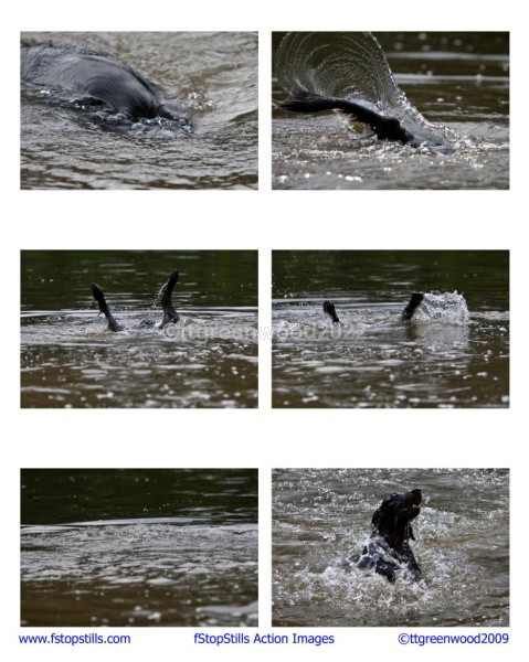8x10 Diving Flatcoat - Canine Action