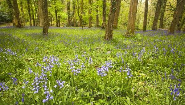 Panoramic Of Woods And Bluebells, Killarney, Co. Kerry, Ireland.