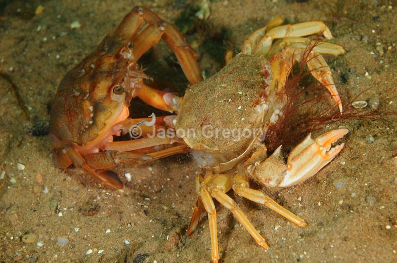 Liocarcinus depurator moulting f - Behaviour observations