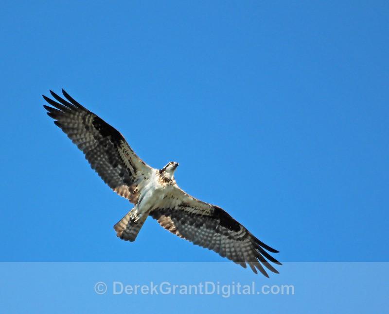 Osprey in Flight - 2 - Birds of Atlantic Canada