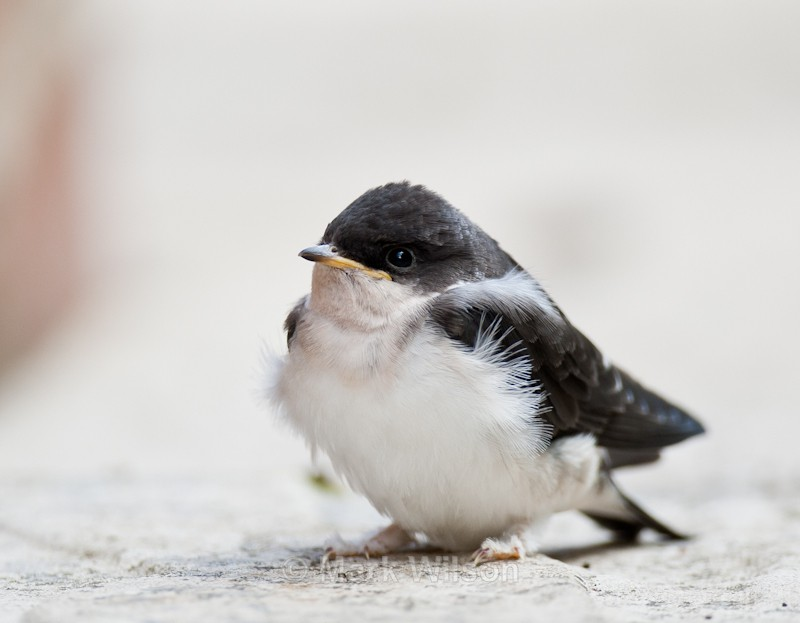House Martin chick newly fledged - Mid-Wales - Hirundines