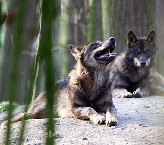 Wolf Howl - Wolves