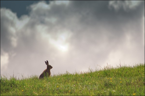 Wild Hare - Rural Life