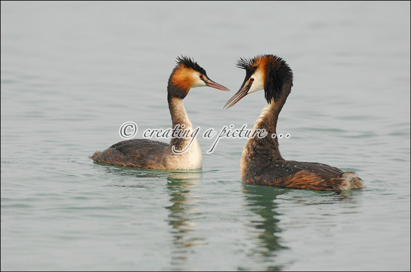 Two Great Crested Grebe - Nature