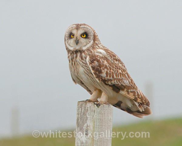 Short Eared Owl, Uist - Scottish Highlands