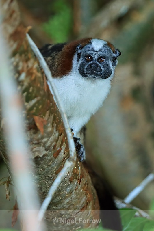Geoffroy's Tamarin, Chagres River, Panama - Monkey