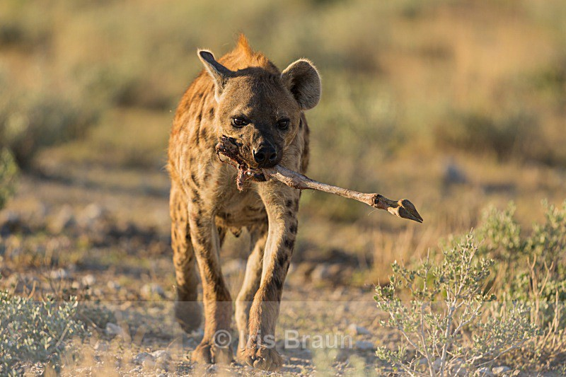 Another Take Away - Hyena