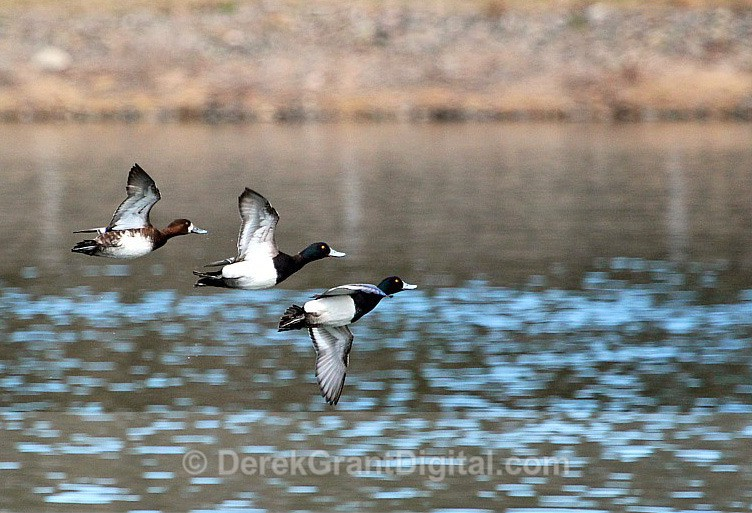 Greater Scaup in Flight - Birds of Atlantic Canada