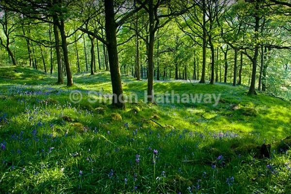 Nibthwaite Woodland - English Lake District