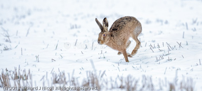Brown Hare (Lepus europaeus) running in the snow 2 - Brown Hare (Lepus europaeus)