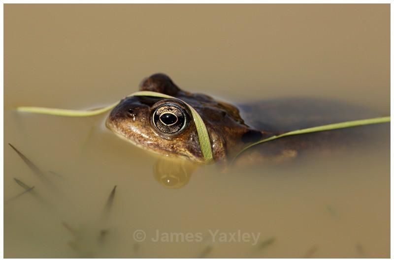 Tagliatelle Verdi - Amphibians