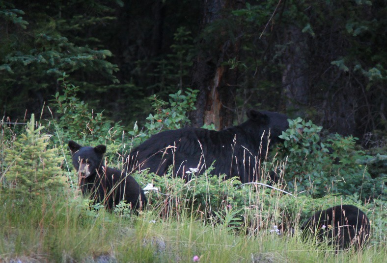 Black Bear Family - BC and the Rockies,Canada