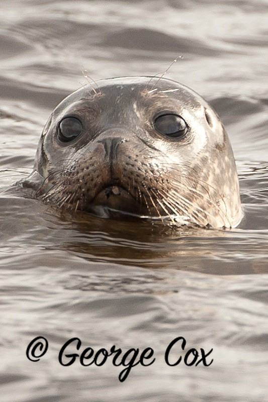 Common Seal - Mammals